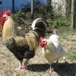 Chickens Hector and Blonde1