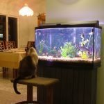 fish tank with cat watching