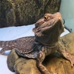 Bessie the bearded dragon