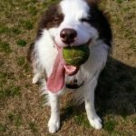 Goucho the dog with ball